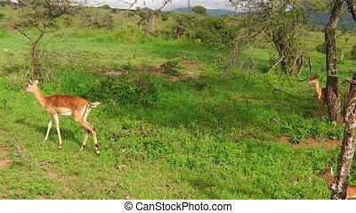impala antelopes of Tanzania - A herd of impalas, Aepyceros...