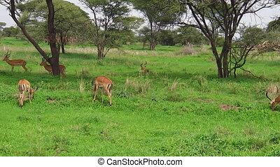 impala antelopes of Tanzania - A herd of impalas, Antidorcas...