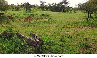 impala antelopes of Tanzania - A herd of male impalas...