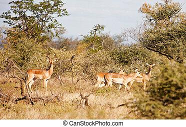 impala antelopes - family of four impala antelopes, in the...