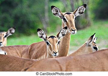 Impala antelopes - Wildlife in Okavango Delta, closeup, herd...