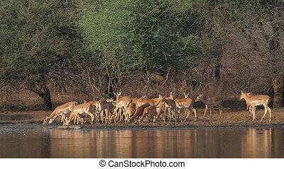 impala, antilopen, trinken
