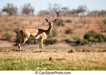 Impala - Chobe N.P. Botswana, Africa - Female Impala at...