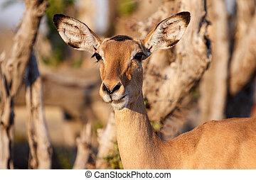 Impala - Chobe N.P. Botswana, Africa - Impala Antelope in...