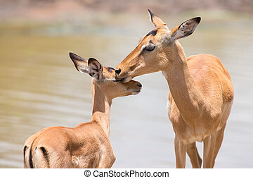 Impala doe caress her new born lamb in dangerous environment...