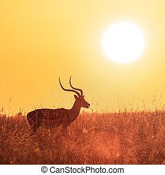 Impala grazing at sunrise