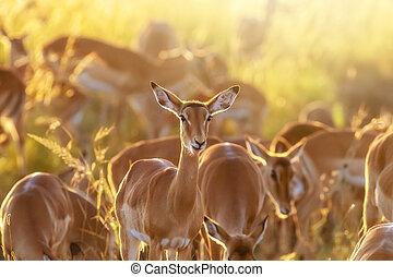 Impala group at sunrise in the Masai Mara
