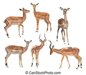 impala isolated collection - male and female impala isolated...