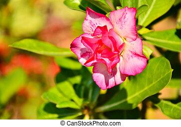Impala Lily Adenium, Desert Rose