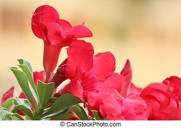 Impala lily adenium - pink flowers