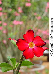 Impala lily adenium - pink flowers