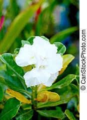 Impala lily adenium - white flowers
