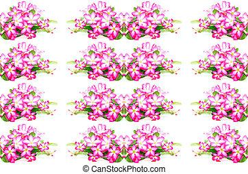 Impala Lily flower - Blossom pink flower, Desert Rose, ...