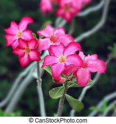 Impala lily flowers - pink impala lily flowers