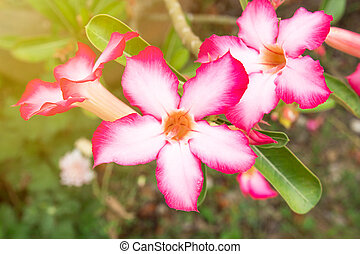 Impala Lily or Desert Rose or Mock Azalea, beautiful pink flower in garden.