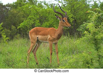 Impala Male in the African bush