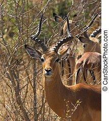 Impala Male - Adult Impala male looking at the camera