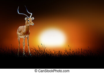 Impala on the background of sunset