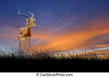 Impala on the background of sunset sky