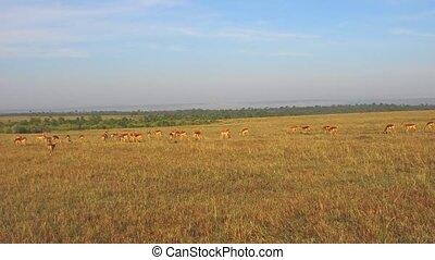 impala or antelopes grazing in savanna at africa - animal,...