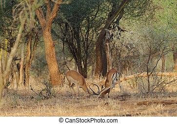 Impala - Closeup of Impala fighting (scientific name:...