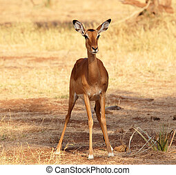 Impala - Female Impala in  the Samburu Reserve (Kenya)
