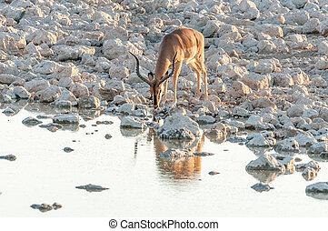Impala ram, (Aepyceros melampus), drinking water at sunset