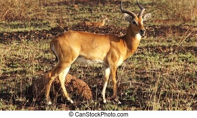 Impala Ram Motionless in Africa