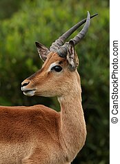 Impala Ram Young - Young Impala ram with curved horns...