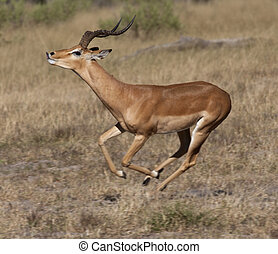 Impala - Savuti region of Botswana - A male Impala...