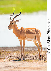 Impala (Aepyceros melampus) in Chobe National Park, Botswana...