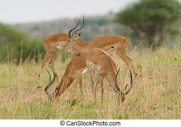 Impala - Closeup of Impala (scientific name: Aepyceros...