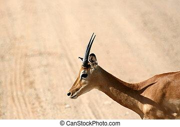Impala - Tarangire National Park. Tanzania, Africa