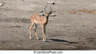 impala, vie sauvage, antilope, namibie, mâle