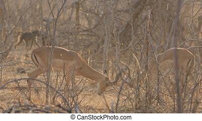 impalas, combat