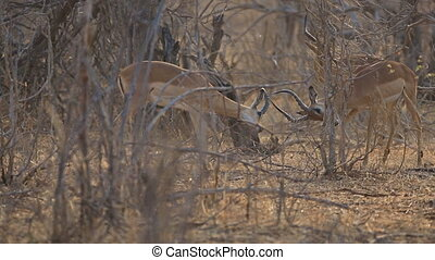 Impalas fighting - Side view of two male impalas fighting