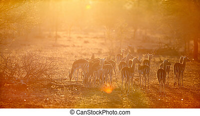 Impalas in South Africa