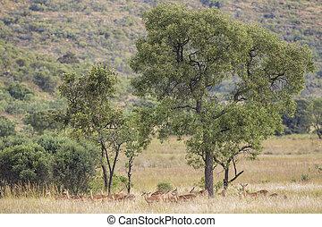 Impalas on savanna in South Africa
