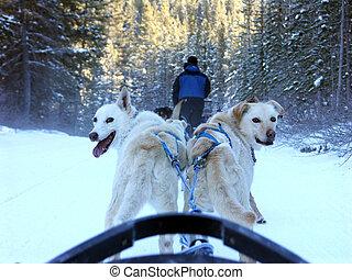 impatience - Dog sledding in Canada.