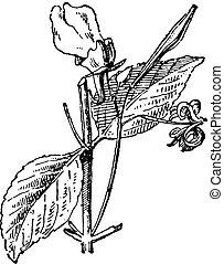 Impatiens balsamina or garden balsam, vintage engraving.