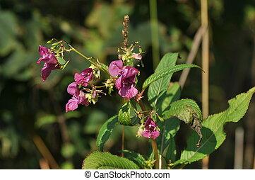 Impatiens glandulifera or Himalayan Balsam