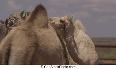 Impatient camels in farm cage, Northern Territory - Extreme...