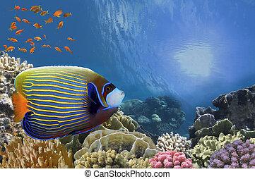 imperator), angelfish del emperador, (pomacanthus