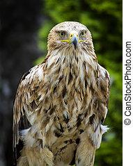 Imperial Eagle Aquila Heliaca - Eastern Imperial Eagle ...
