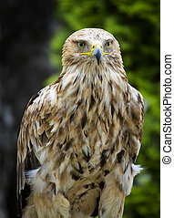 Imperial Eagle Aquila Heliaca - Eastern Imperial Eagle...
