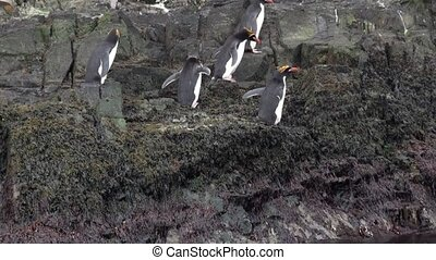 Imperial penguins jump on rocky ocean coast of Falkland Islands in Antarctica.