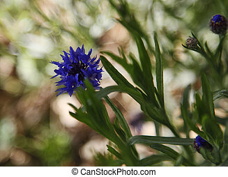 Impressionistic Bachelor Buttons (Cornflowers)