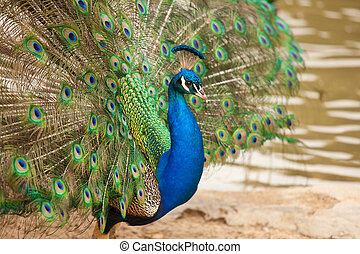 Impressive Peacock with Feathers Spread