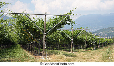 impressive vineyard grape growing and wine production in ...