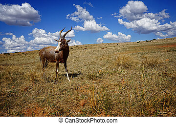In a bright sunny day, the antelope stands in the middle of beautiful yellow grass